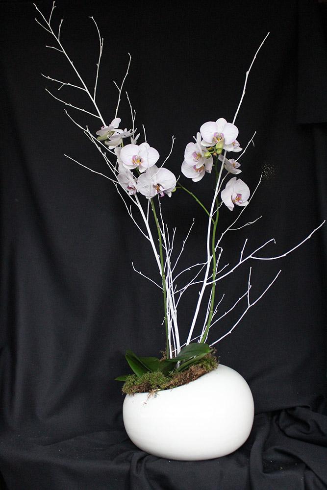 Phalaenopsis bianca